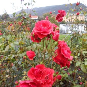 Roses de Bergenhus
